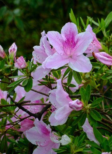 Bubblegum Rhododendron