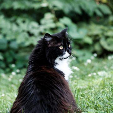 Tuxedo cat garden