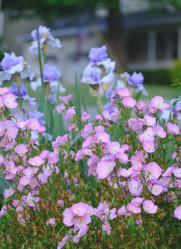 Growing Pink Evening Primrose