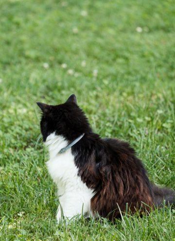 cat wearing a Seresto Flea collar