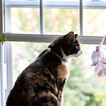 calico cat in the window