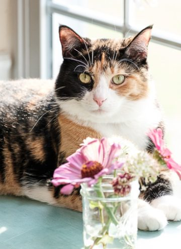 Luxie cat and the zinnias