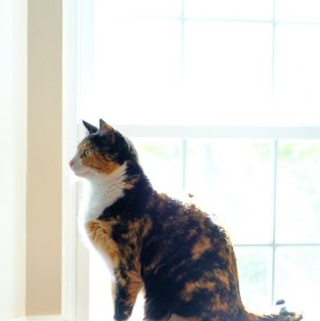 Calico cat looking out window