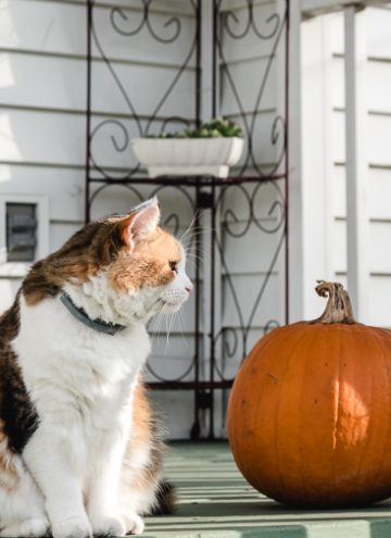 Calico cat and pumpkin