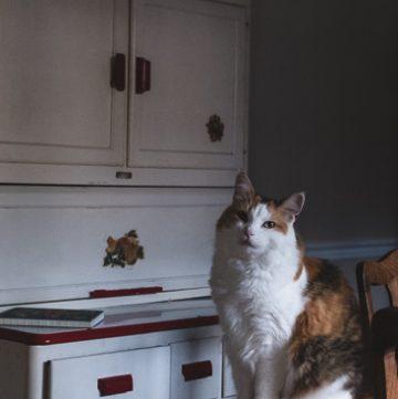 Calico cat in dining room