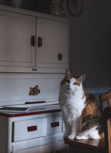Calico cat in dining room