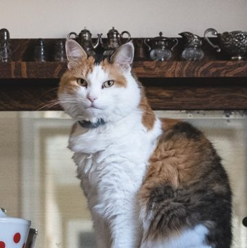 Calico cat on sideboard