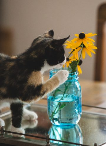 Calico kitten with Black-eyed Susans