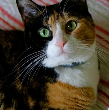 Calico cat looking up at the camera