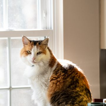 Calico cat looking at camera in front of a window.