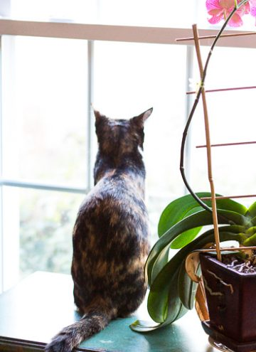 Calico cat looking out the window