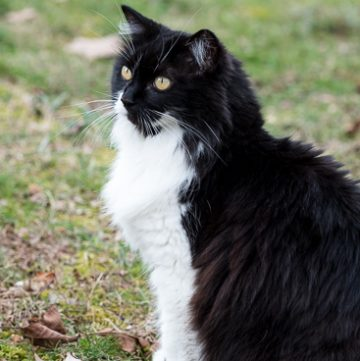 Black and white cat outside.
