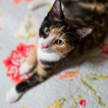 Calico cat looking up at the camera.