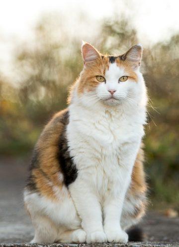 Calico cat on sidewalk