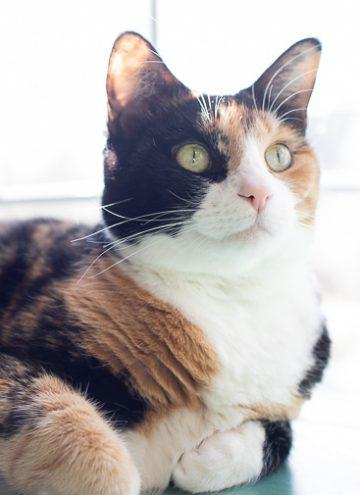 Calico cat, Luxie.