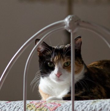 Calico cat looking through iron railings.