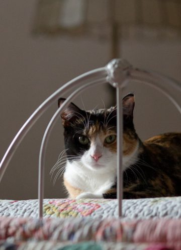 Calico cat looking through iron railings.