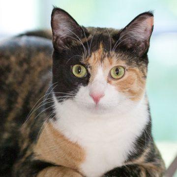 Calico cat Luxie.