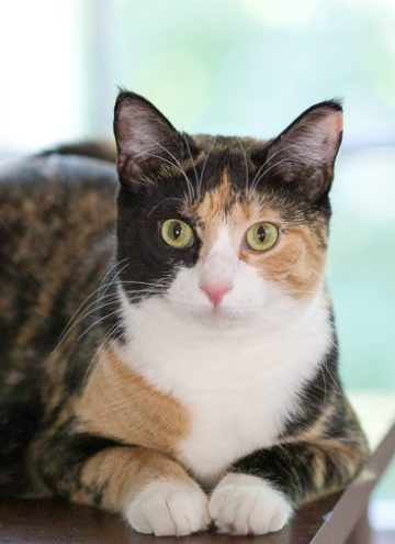 Calico cat Luxie.