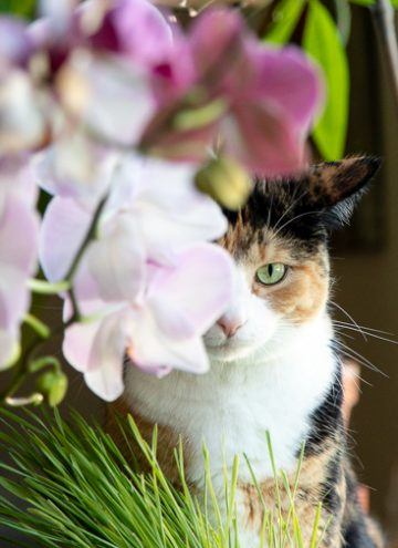 Calico cat behind orchids