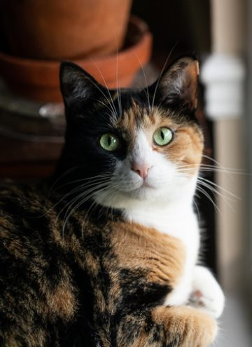 Calico cat looking at the camera.