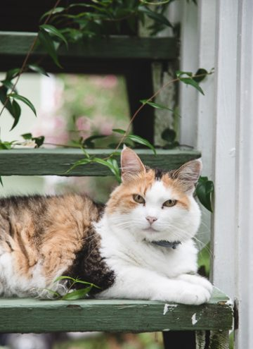 Calico cat on stairs.