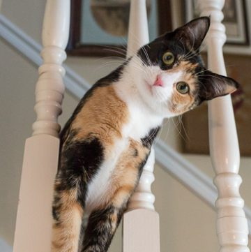Calico cat on the stairs.