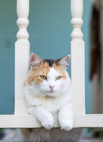 Calico cat on the porch.