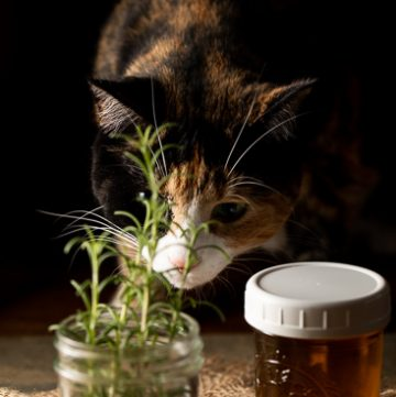 calico cat smelling the rosemary.