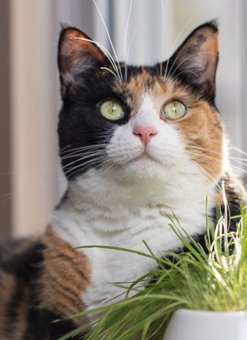 calico cat looking up.