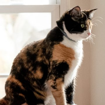Our calico cat Luxie.