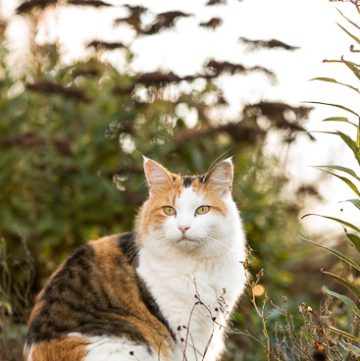 Calico cat in the fall garden.