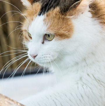 Calico cat on frosty car window.