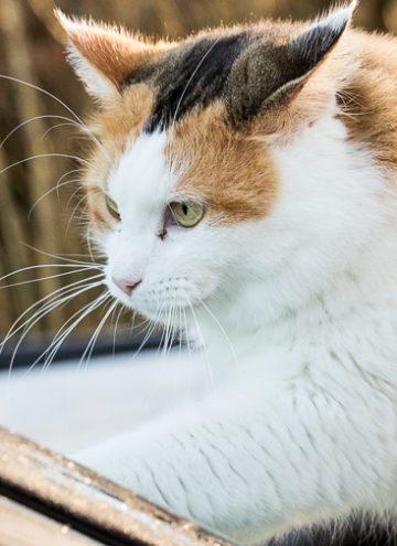 Calico cat on frosty car window.