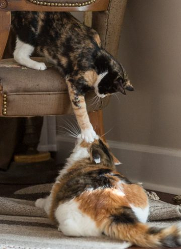 Calico cats playing.