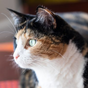 Close up of calico cat.
