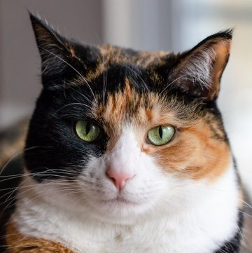 Calico cat.