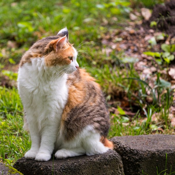 Calico cat looking off to the side.