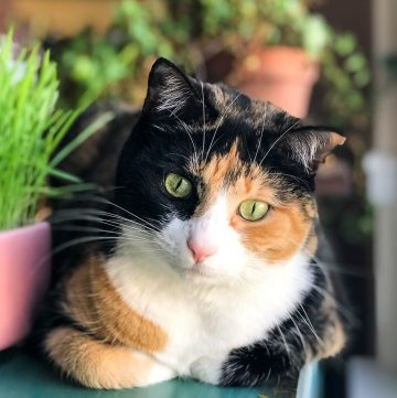 Calico cat looking down.